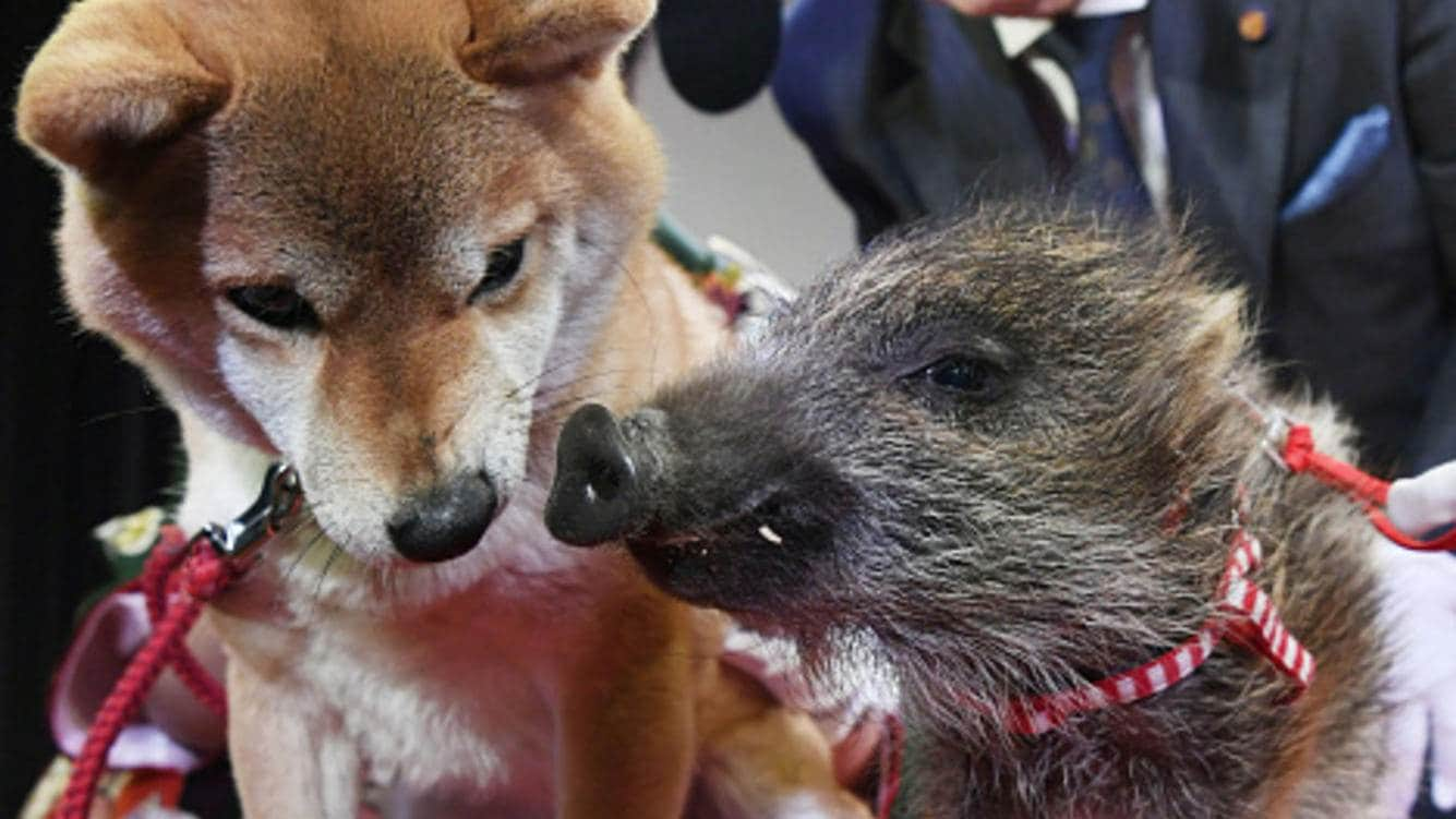 A dog and a boar attend a handover ceremony of the animal symbol of the year at the Tsutenkaku tower in Osaka on Dec. 27, 2018. The dog is the 2018 symbol in the Chinese astrological calendar, while the boar represents the year 2019. (Kyodo)==Kyodo(Photo by Kyodo News via Getty Images)