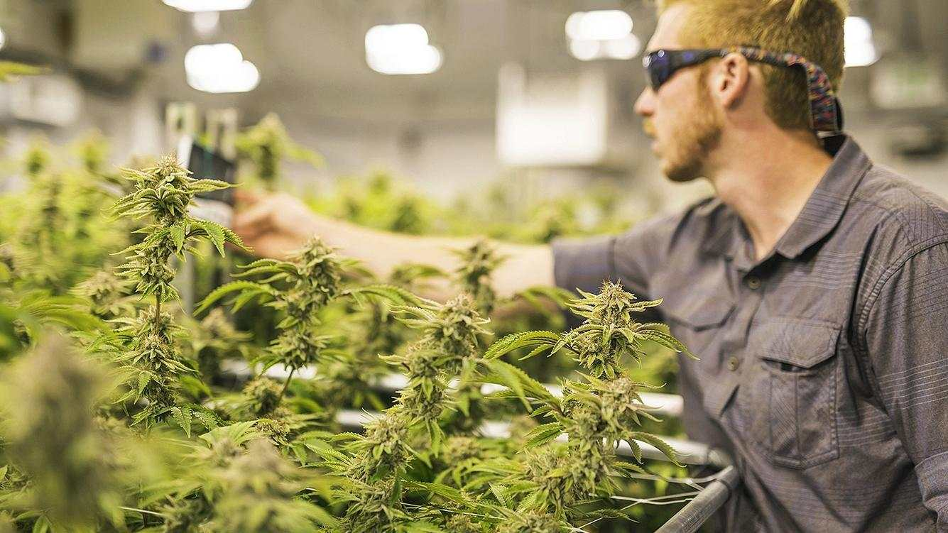 A crop of cannabis plants grow under artificial lights at a facility in Oregon. A young man in red hair and safety glasses is reaching forward to check on them.