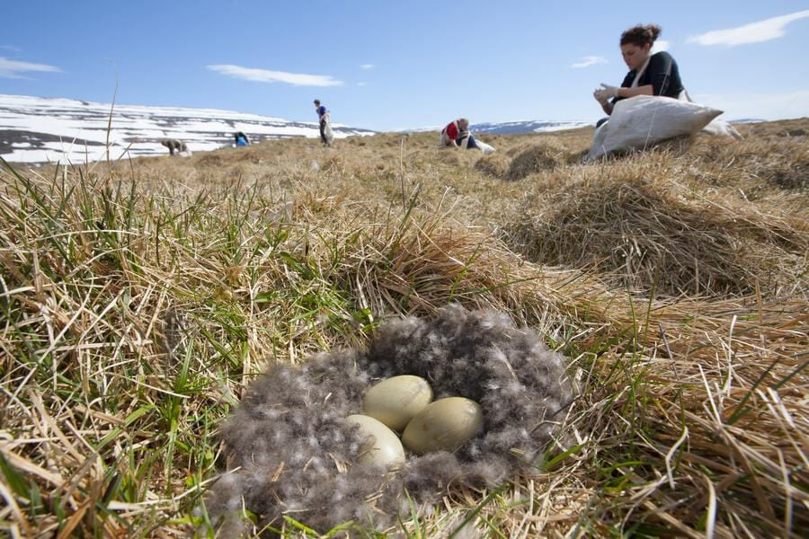 Common eider duck (Somateria mollissima)  nest containing three eggs with people collecting down feathers, Aedey Island, Iceland, June 2007.