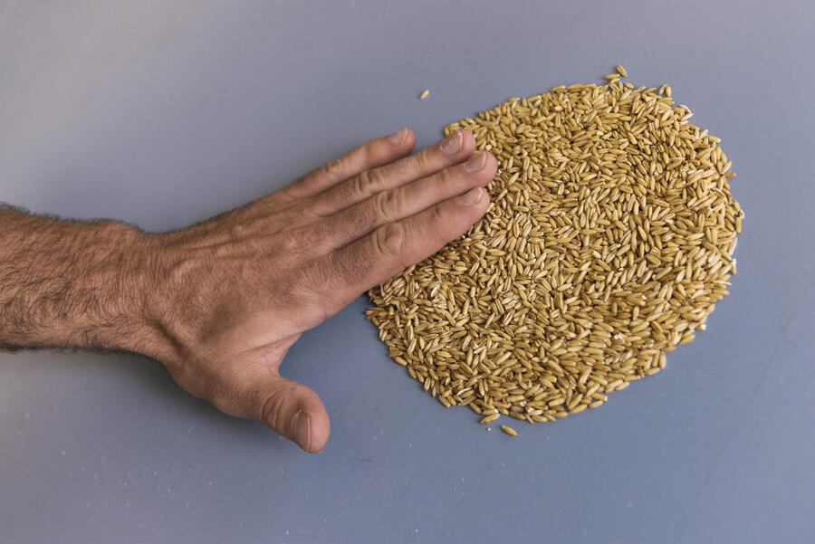 An employee examines the grain quality at the grain mill Swissmill in Zurich, Switzerland, on May 30, 2016. Swissmill is a subsidiary of the Coop Group and mills over 200'000 tonnes of grain, thus producing more than 100 different types of flour, semolina and flakes. (KEYSTONE/Christian Beutler)