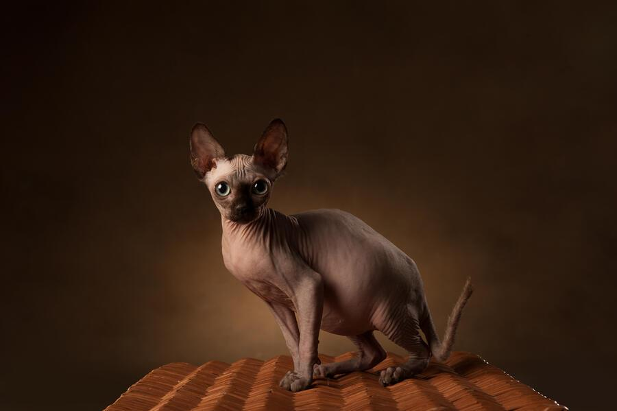 Sphynx cat. Photo of a cat of the sphinx breed in the studio on a dark background. Light and shadow. Mysterious look. Big eyes. Mystical animal. Pet. The cat is sitting on a basket made of vines.
