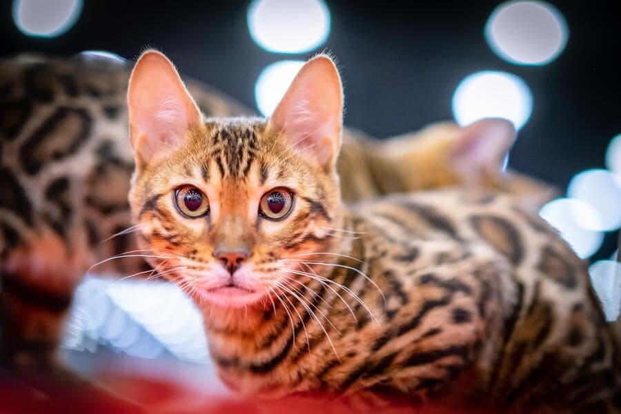 The cat is looking at the camera. A cat with big ears. Leopard cat.