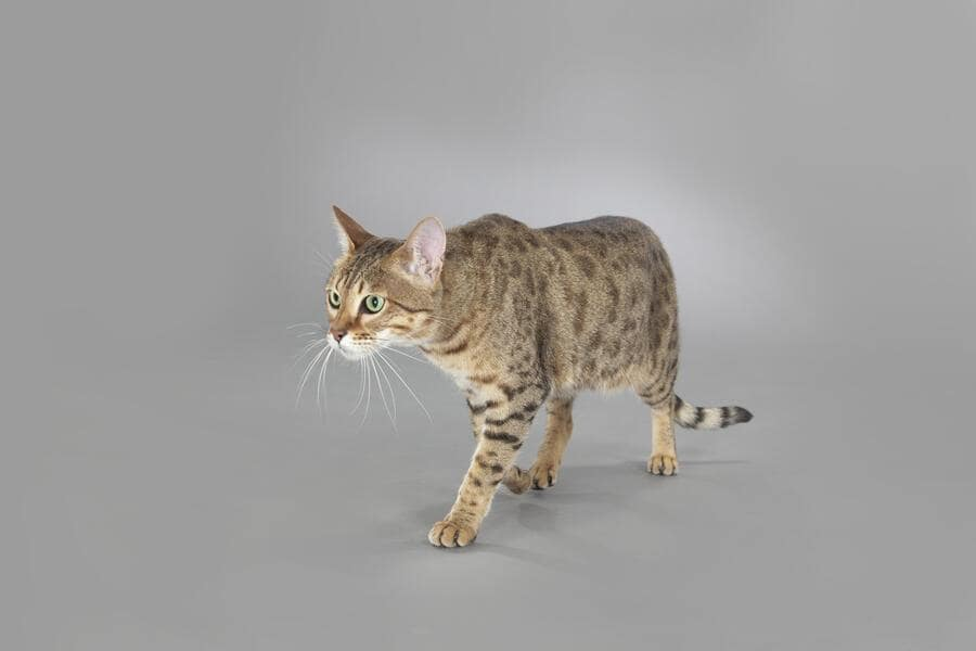 The Savannah is a domestic hybrid cat breed. It is a cross between a serval and a domestic cat.